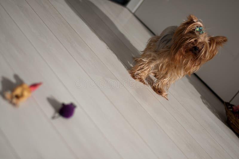 Yorkshire Terrier imagenes de archivo
