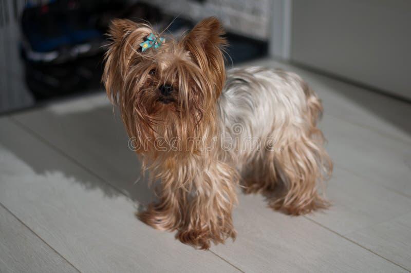 Yorkshire Terrier imagen de archivo