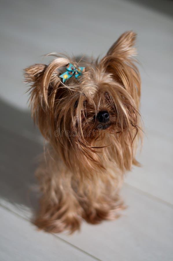 Yorkshire Terrier fotografía de archivo libre de regalías