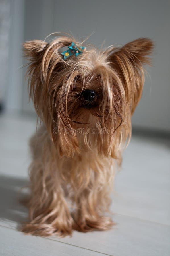 Yorkshire Terrier fotos de archivo