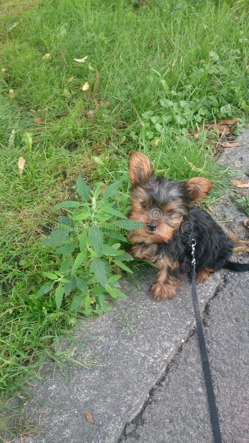 Yorkshire Terrier stockfoto