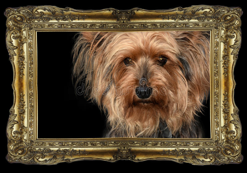 Yorkshire Terrier zdjęcia royalty free