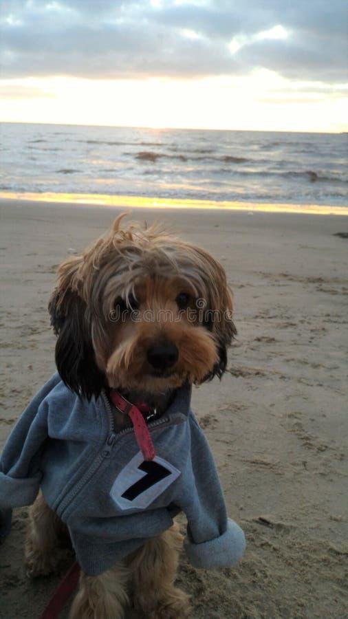 Yorkshire Terrier appréciant la plage image stock