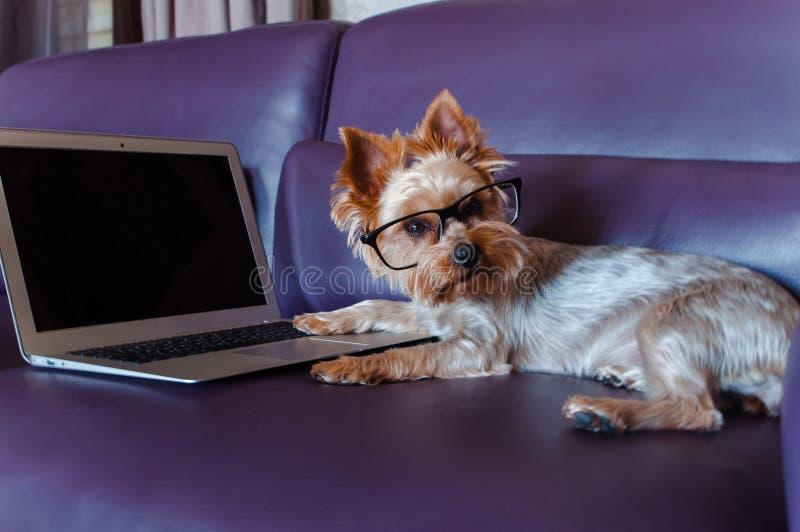 Yorkshire Terrier - bästa vän fotografering för bildbyråer