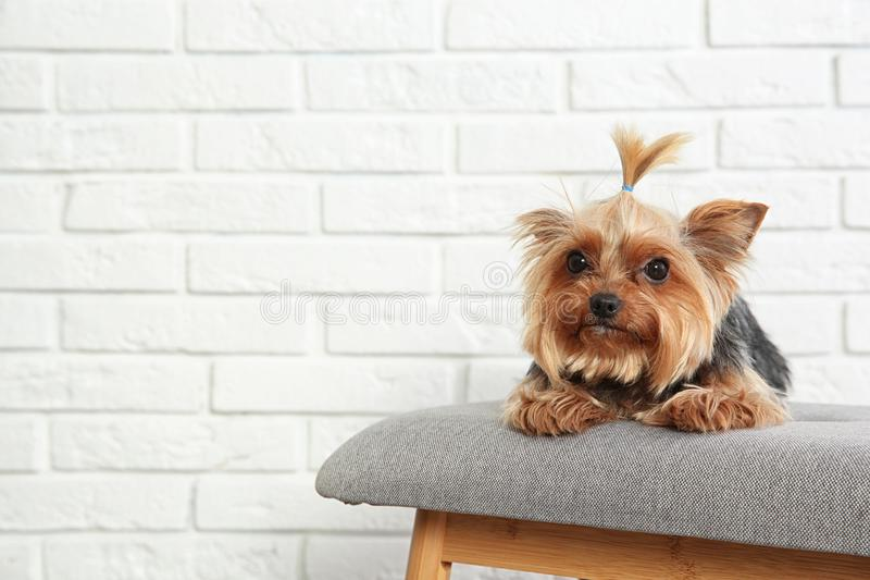 Yorkshire terrier on bench against brick wall, space for text. Happy dog stock photo