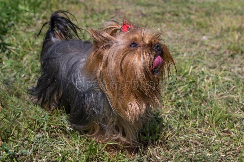 Yorkshire-Terrier betrachtet zuverl?ssig den Inhaber lizenzfreie stockbilder