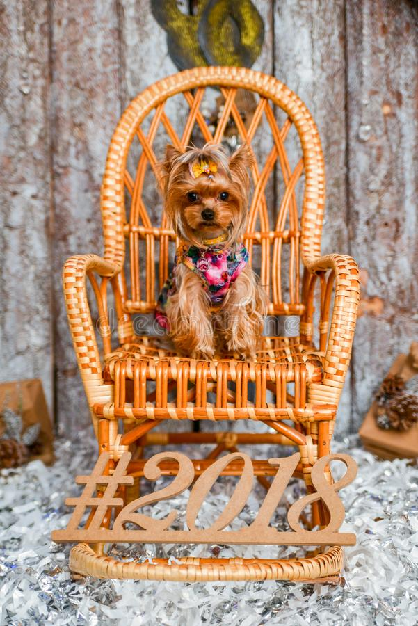 Yorkshire terrier, a bit and a lovely doggie in a festive Christmas stock images