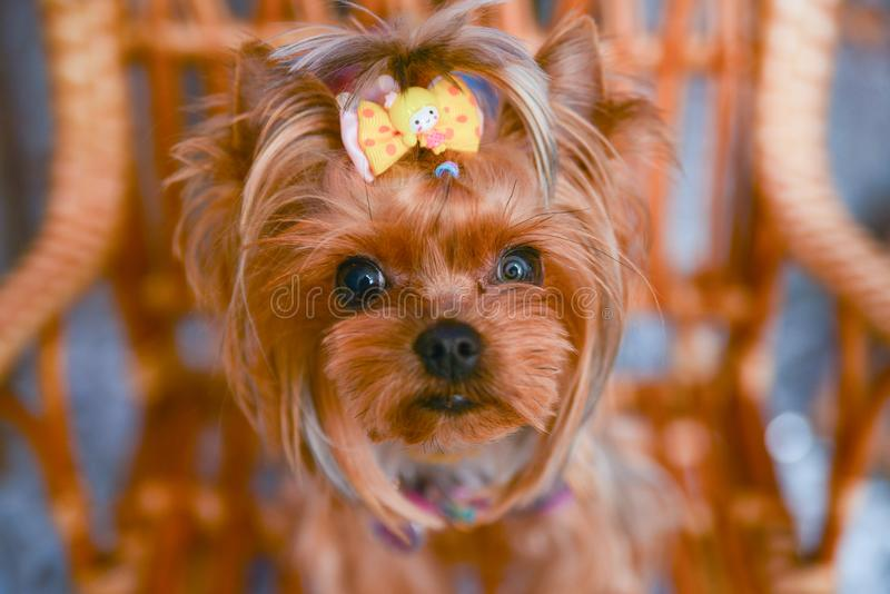 Yorkshire terrier, a bit and a lovely doggie in a festive Christmas stock photos