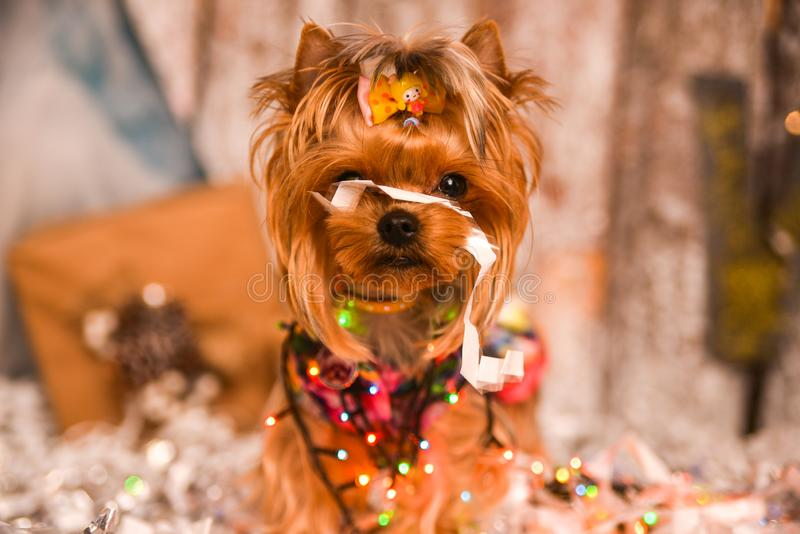 Yorkshire terrier, a bit and a lovely doggie in a festive Christmas royalty free stock images