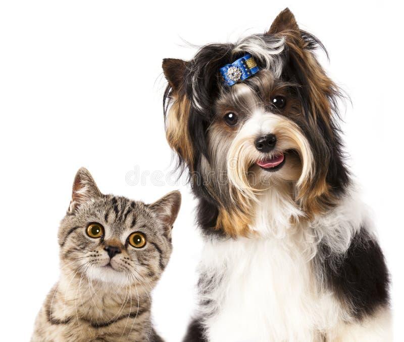 Yorkshire terrier brit?nico do gatinho e do castor imagem de stock royalty free