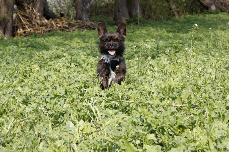 Yorkshire Terrier buldoga mieszanka bawić się w wysokiej trawie z koniczyną zdjęcia stock