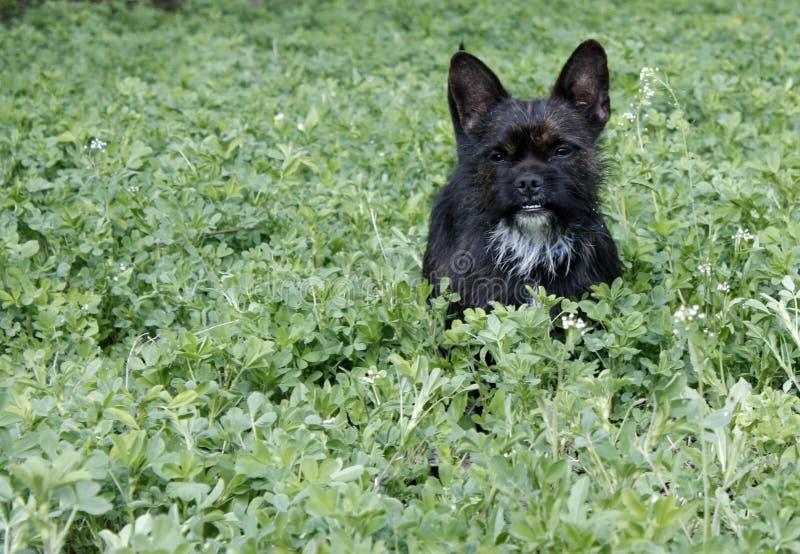 Yorkshire Terrier buldoga mieszanka bawi? si? w wysokiej trawie z koniczyn? obrazy royalty free
