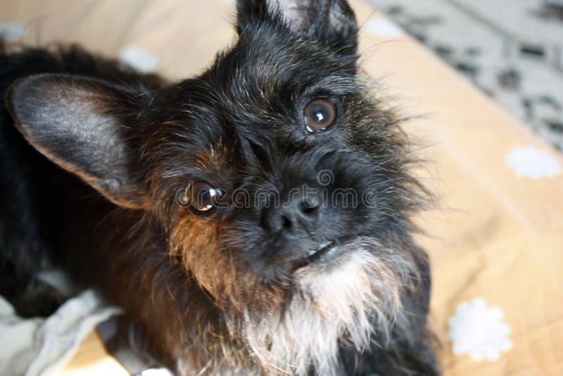 Yorkshire Terrier buldoga mieszanki czer? z czerwonym kolorem patrzeje kamer?, w g?r? zdjęcie stock