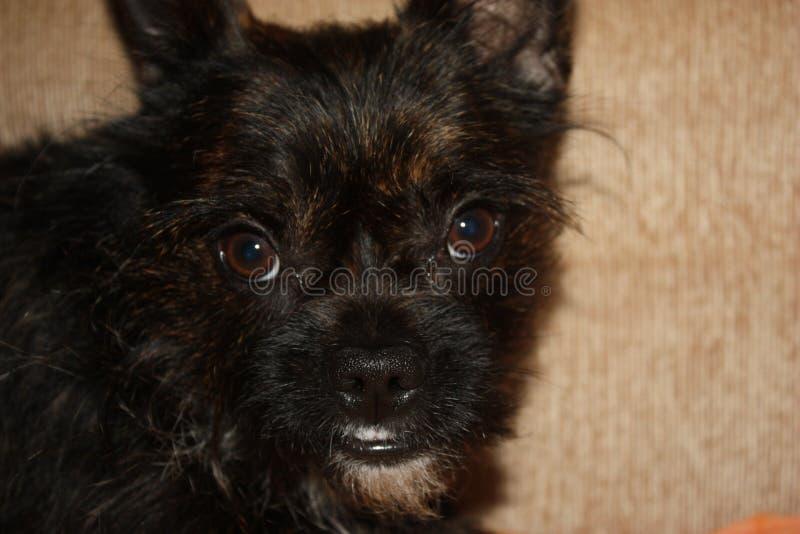 Yorkshire Terrier buldoga mieszanki spojrzenia kamera, portret obrazy stock