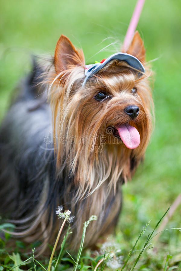 Download Yorkshire terrier in a cap stock image. Image of purr - 28677185