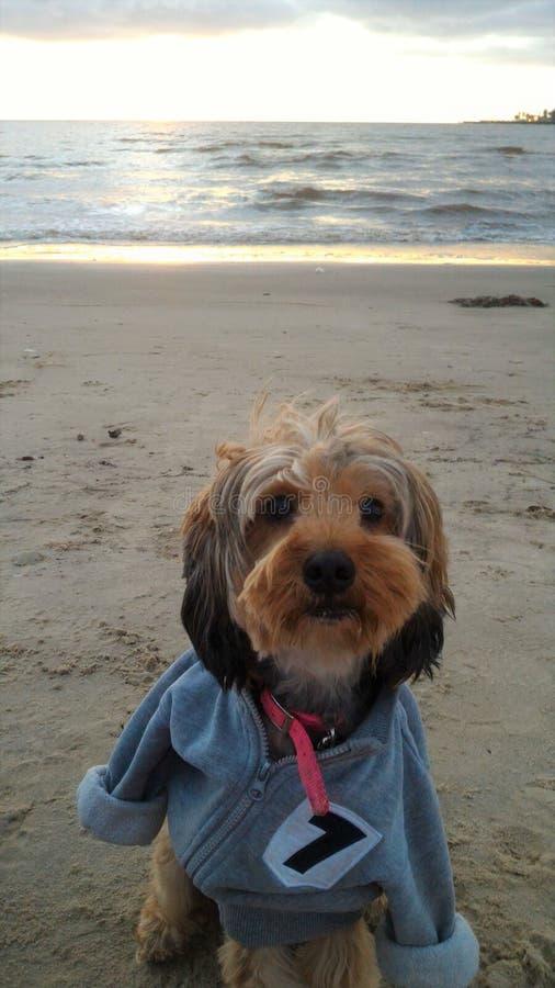 Yorkshire terrier che gode della spiaggia immagine stock