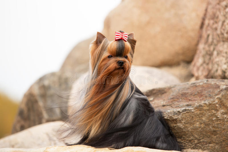 Download Yorkshire Terrier Com Cabelo Tornando-se Imagem de Stock - Imagem de pedra, cão: 65576581