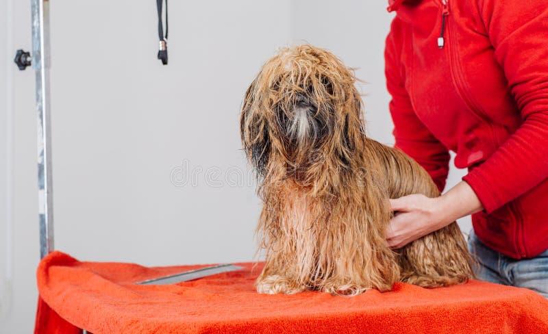 Yorkshire terrier com o mestre da preparação no salão de beleza fotografia de stock