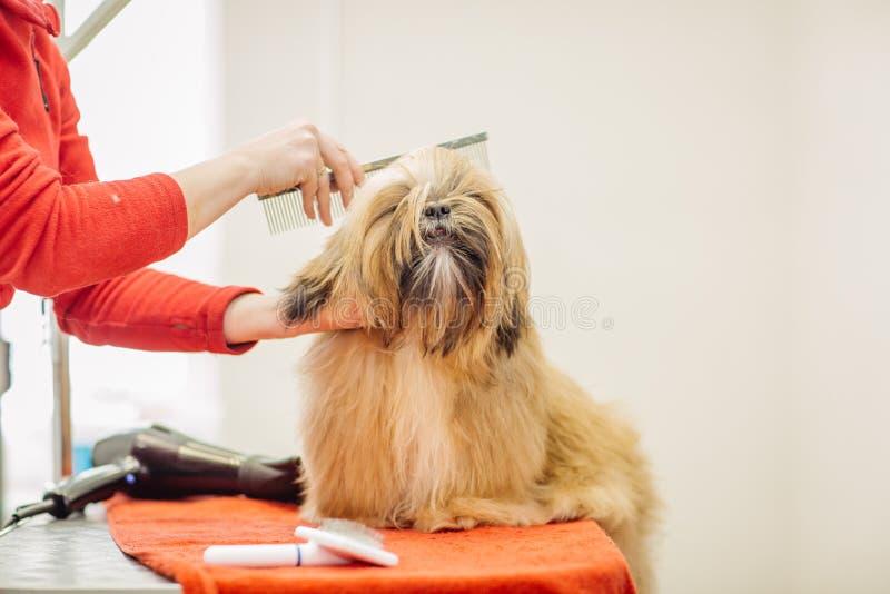 Yorkshire terrier com o mestre da preparação no salão de beleza imagens de stock royalty free