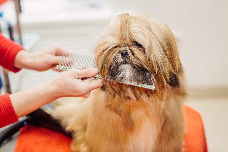 Yorkshire terrier com o mestre da preparação no salão de beleza foto de stock