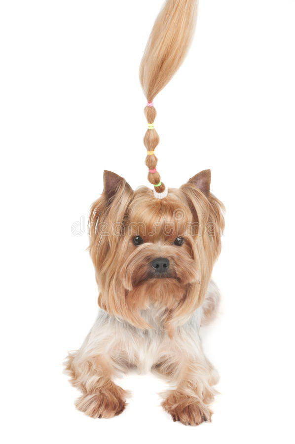 Yorkshire Terrier Com Onda Ereta Fotos de Stock