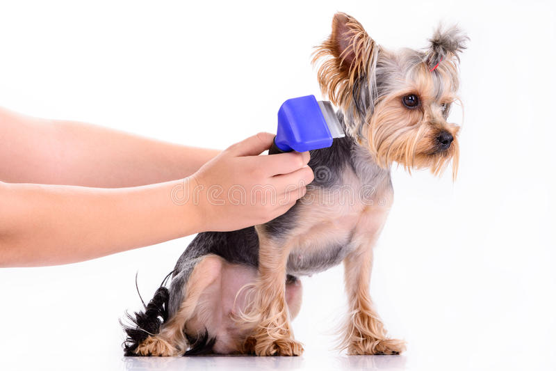 Yorkshire terrier comb royalty free stock photo