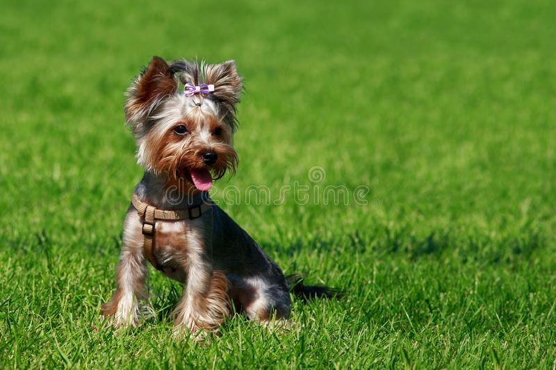 Yorkshire terrier da raça do cão imagem de stock royalty free