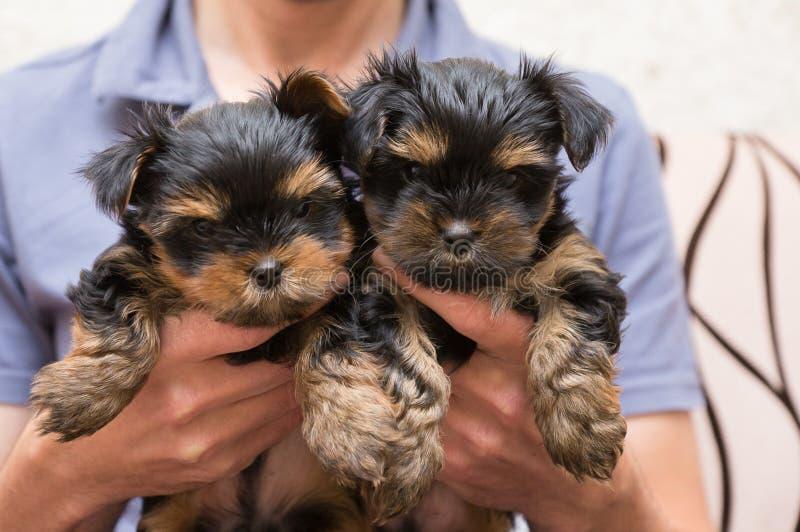 yorkshire terrier de dois cachorrinhos disponível imagem de stock royalty free