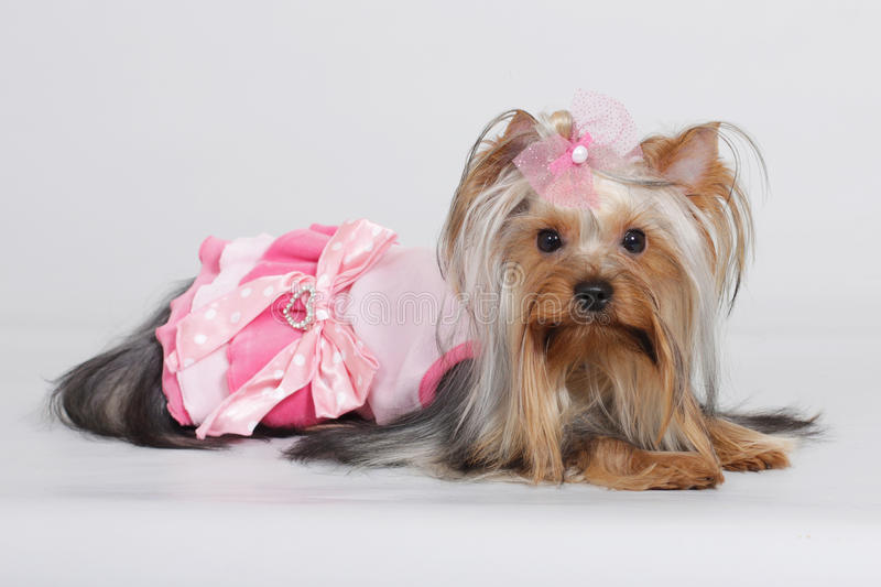 Yorkshire terrier decorativo del cane immagini stock