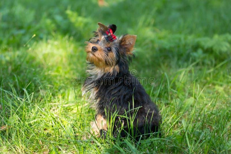 Download Yorkshire Terrier Del Cucciolo Che Cammina Nel Parco Immagine Stock - Immagine di bello, erba: 56886545