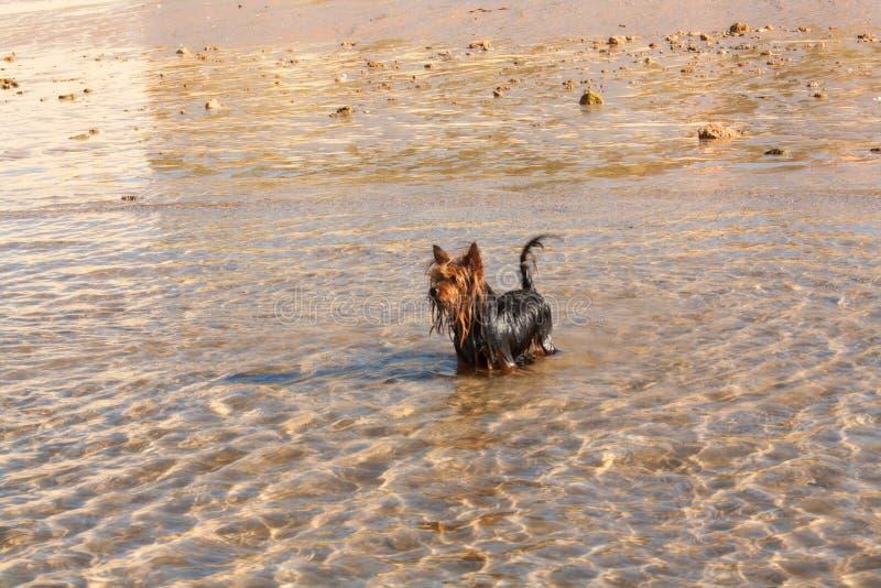 Yorkshire terrier del piccolo cane immagini stock libere da diritti