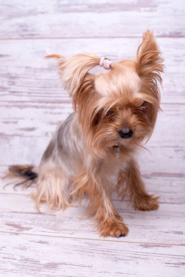 Yorkshire terrier della razza del cane su un fondo di legno bianco Un piccolo cane fotografie stock