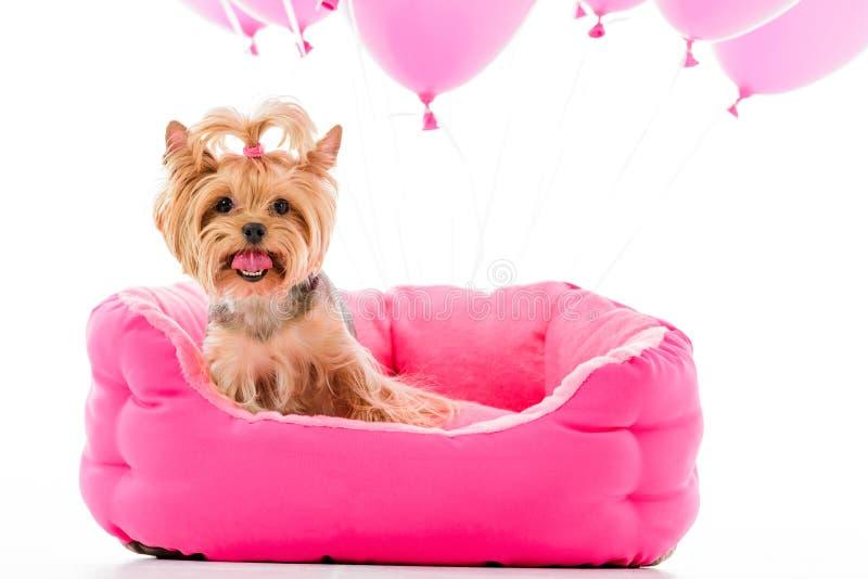 Yorkshire-Terrier, der auf Bett mit den Ballonen lokalisiert auf Weiß sitzt lizenzfreie stockfotos
