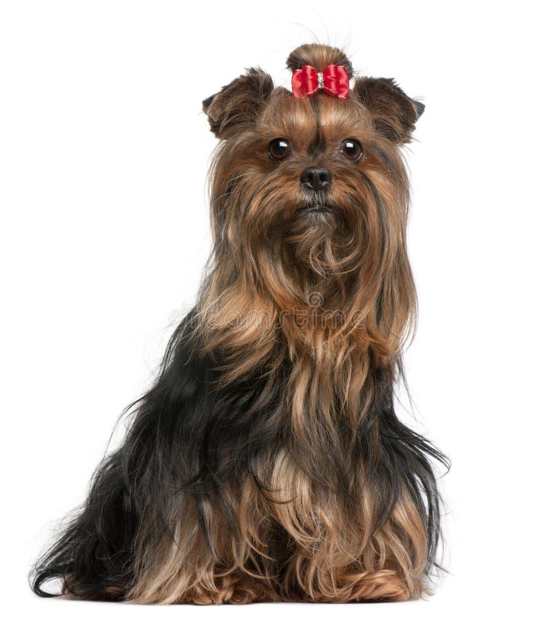 Yorkshire-Terrier, der den roten Bogen, 9 Jahre alt trägt lizenzfreie stockbilder