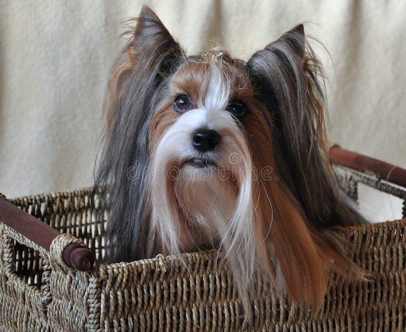 Yorkshire terrier di Biewer del cane immagine stock libera da diritti
