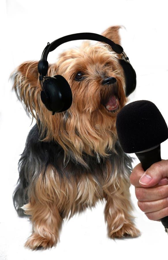 Yorkshire terrier di canto fotografie stock