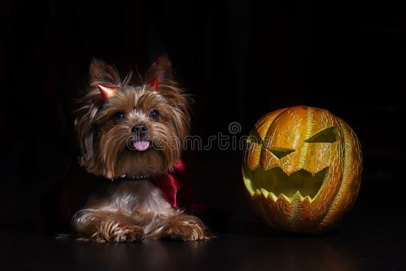Yorkshire terrier do cão no estúdio com a abóbora de Dia das Bruxas no fundo preto fotografia de stock royalty free