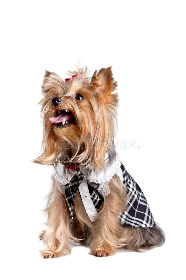 Download Yorkshire Terrier Dog Stock Photos - Image: 20901933