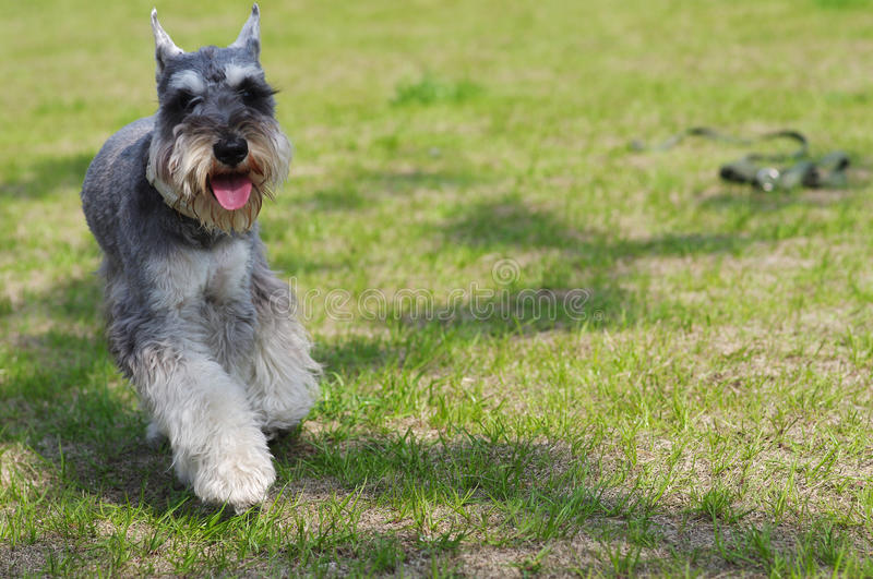 Download Yorkshire Terrier dog stock image. Image of humorous - 24803941