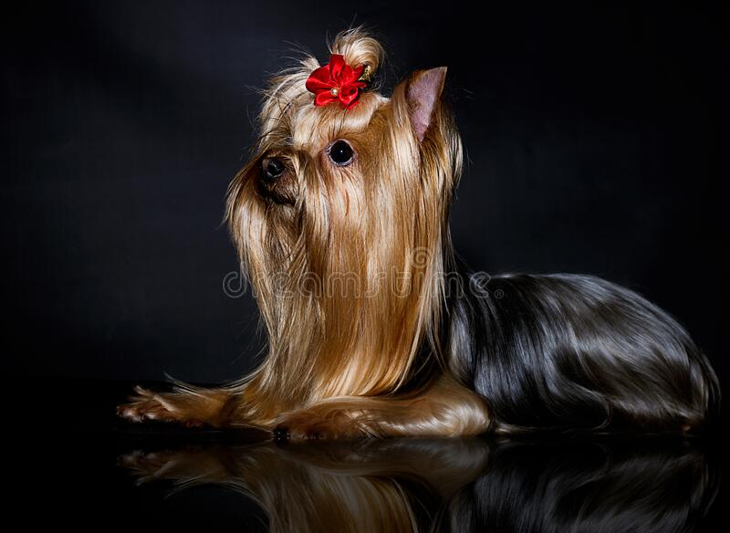 Yorkshire Terrier dog on a black. Background royalty free stock image