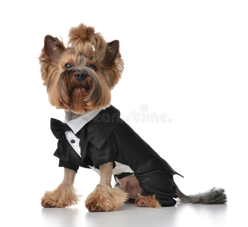Yorkshire Terrier dog dressed up for wedding like broom sitting. Isolated on a white background stock photography