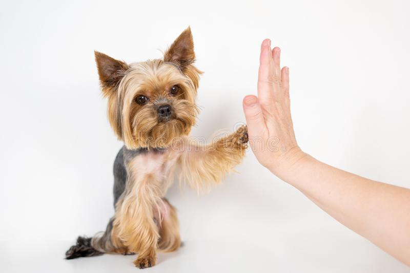 Yorkshire terrier dog gives paw on white background stock image