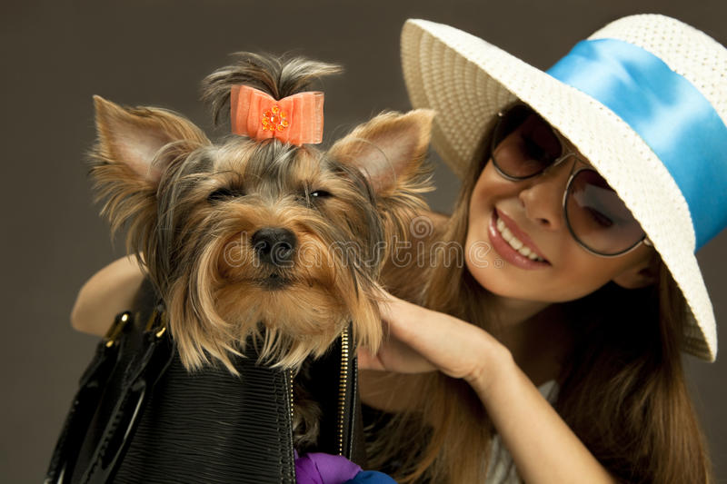 Yorkshire Terrier dog intending to attack. Defending his young mistress royalty free stock images