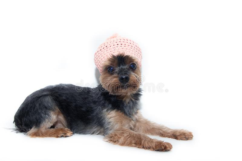 Yorkshire Terrier dog in a knitted hat on a white background. Little dog isolated on a white background. Sheared dog. A pet royalty free stock photography