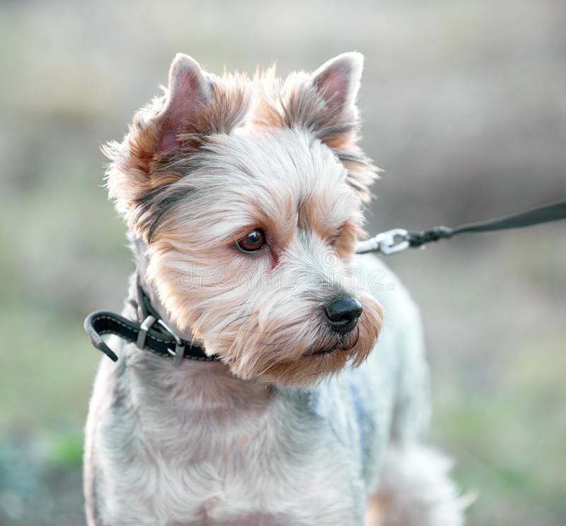 Yorkshire terrier dog portrait close-up in soft evening light stock image