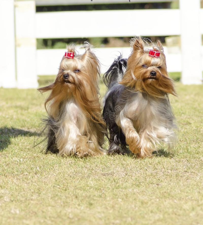 Yorkshire Terrier dog royalty free stock image