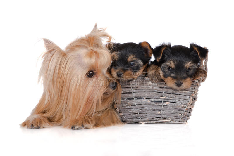yorkshire terrier dog with puppies stock image
