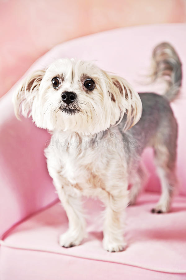 Download Yorkshire Terrier dog stock image. Image of cute, tiny - 31166723