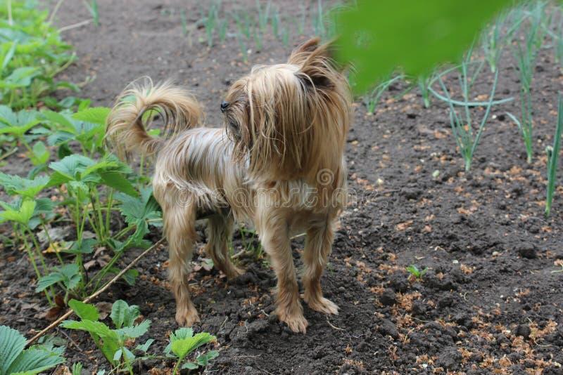 Yorkshire Terrier walks in the garden. Yorkshire Terrier dog walks in the garden stock images