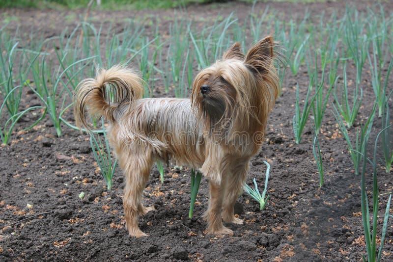 Yorkshire Terrier walks in the garden. Yorkshire Terrier dog walks in the garden stock image